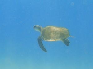 Tartaruga Verde - Baía dos Porcos