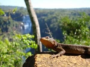 Foz do Iguaçu - Lagarto na Trilha das Cataratas