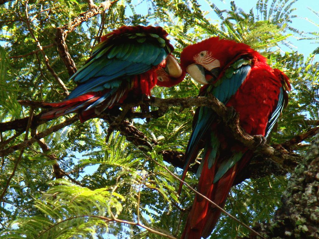Araras-Vermelhas no Buraco das Araras, Jardim - MS