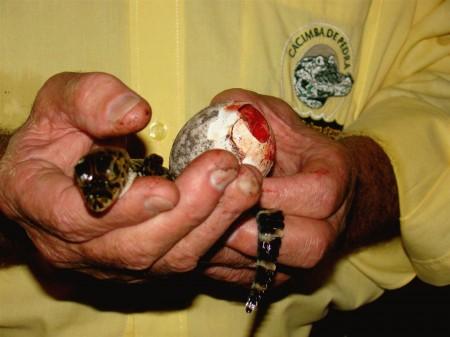 Nascimento de filhote de jacaré na Cacimba de Pedra, Miranda - MS