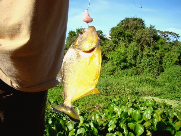 Pesca de Piranha no Pantanal, Miranda - MS