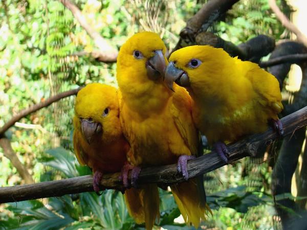 Ararajubas no Parque das Aves