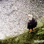 Uma linda águia na beira do Rio Capilano