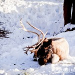 Uma rena de verdade em Grouse Mountain