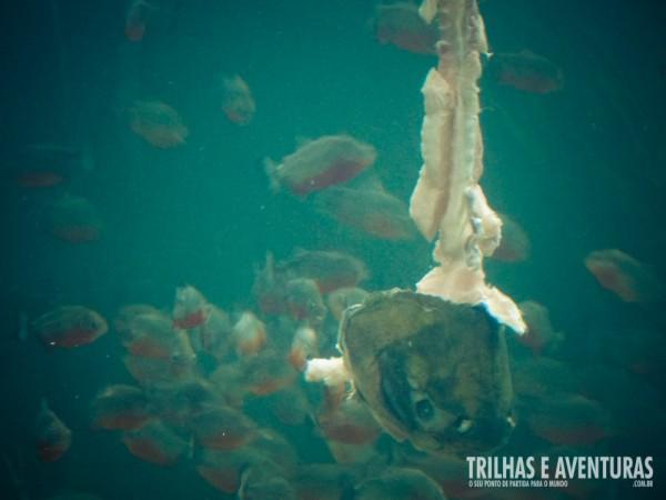 Tem coragem de cair em um lago repleto de piranhas?