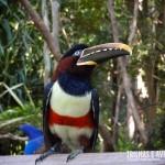 Me apaixonei por esse Tucano-do-bico-verde do Bird Land
