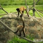 Os macacos fazem a festa quando os turistas chegam