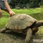 Enormes tartarugas são encontradas nas trilhas do primeiro recinto