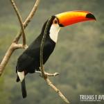 Os tucanos sempre impressionam com as cores vibrantes do bico