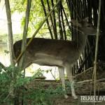 Este cervo do pantanal estava tímido com a nossa presença e se escondeu