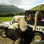 Os sempre curiosos avestruzes chegam felizes para ganhar seus brindes
