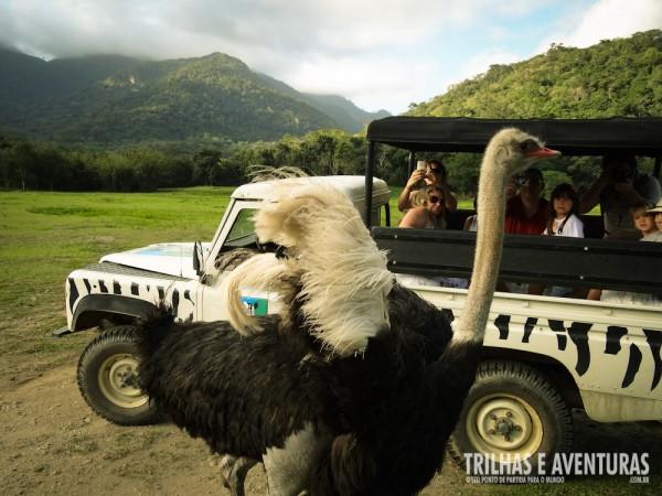 Durante o safari é possível alimentar os animais de dentro do carro
