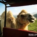 Essa é a Camila, a camelo fêmea mais fofa do Safari do Portobello
