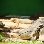 Iguanas machucadas recebem os cuidados necessários