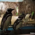 Pinguins em Natal! Os ilustres visitantes tem uma casa especial