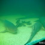 O aquário de tubarões-lixa é enorme!