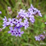 Muitas flores nos Aparados da Serra