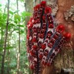 Lagartas de fogo que encontramos na Trilha do Rio do Boi