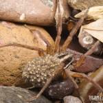Aranha com seus filhotes nas costas, na Trilha do Rio do Boi