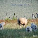 Ovelhas pastando tranquilamente