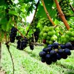 No passeio ao parreiral é possível provar as uvas também