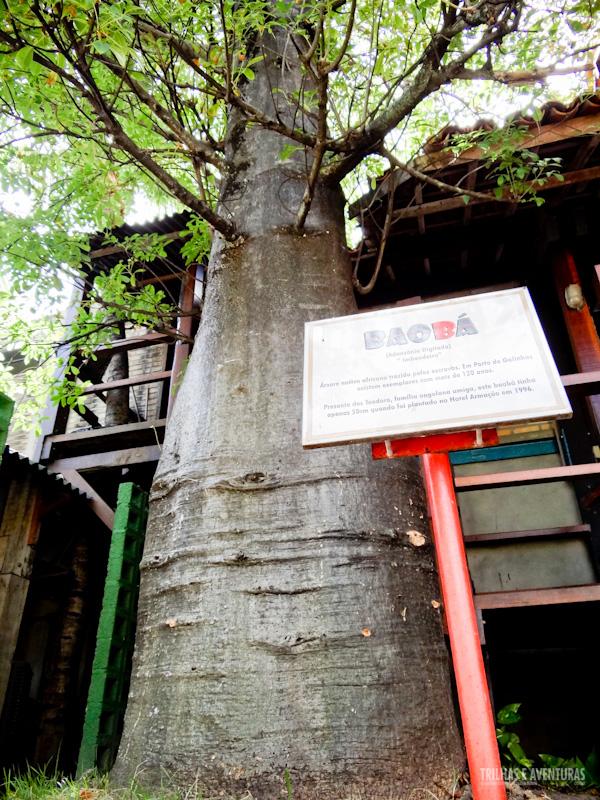 Este baobá tinha apenas 50cm quando foi plantado em 1996