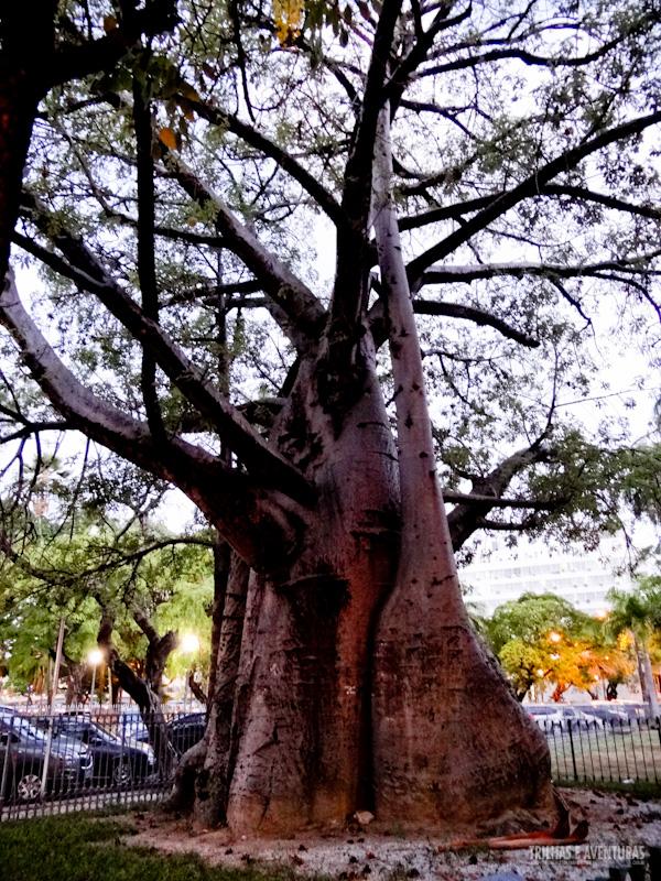 Baobá na Praça da República, em frente ao Palácio do Campo das Princesas