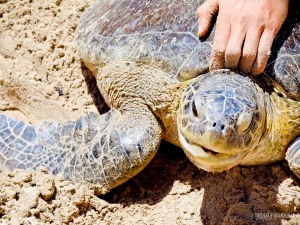 Na Praia do Sueste é possível acompanhar o trabalho do TAMAR com as tartarugas marinhas