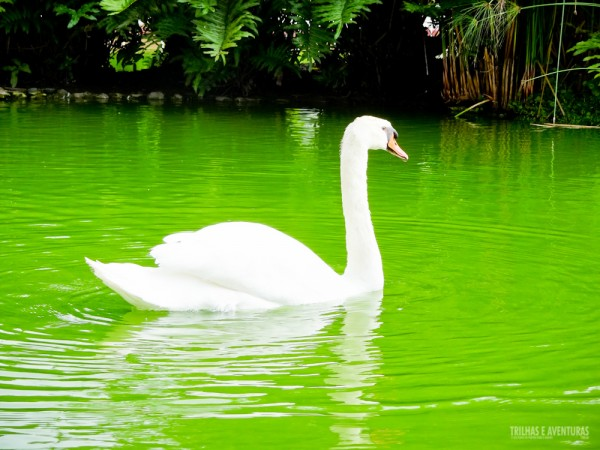Cisne branco no lago central do hotel