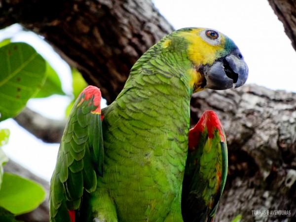 Papagaio verdadeiro encontrado no Jalapão