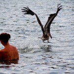 Os pelicanos nem incomodam com as pessoas