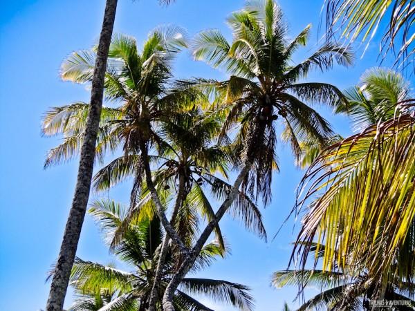 Vale a pena fazer a caminhada para ver o coqueiro com duas copas na Praia de Bainema
