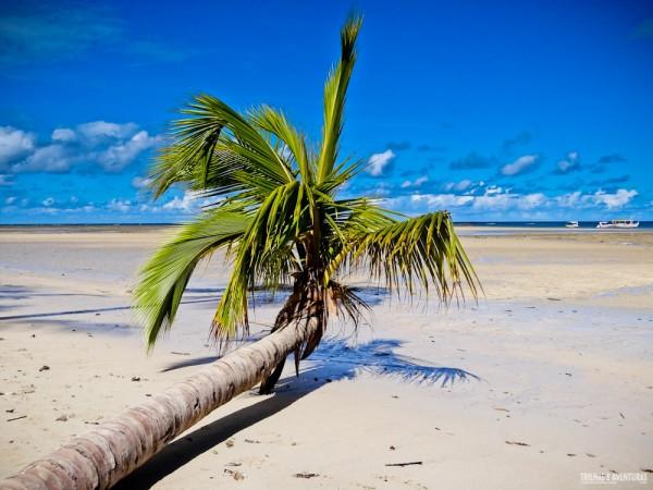 Coqueiro caído em frente ao restaurante que almoçamos na Praia de Moreré