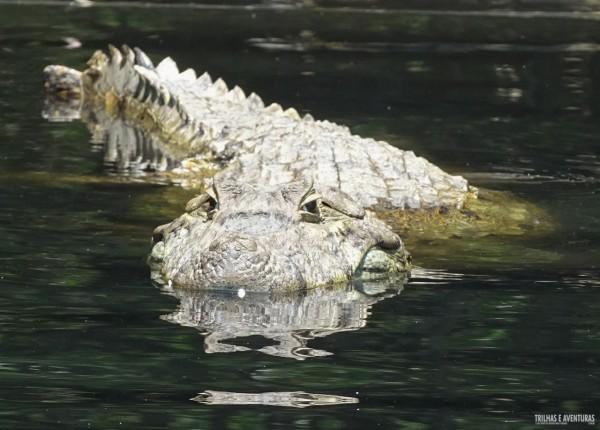 Jacaré - Conhecendo de perto o Pantanal Carioca