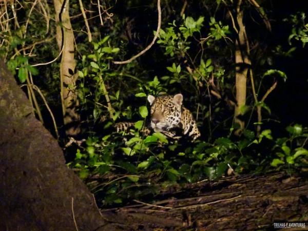 Onça Pintada no Pantanal Jungle Lodge-10