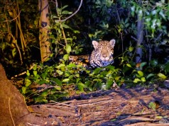 Onça Pintada no Pantanal Jungle Lodge - MS