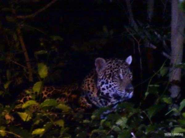 Onça Pintada no Pantanal Jungle Lodge-13