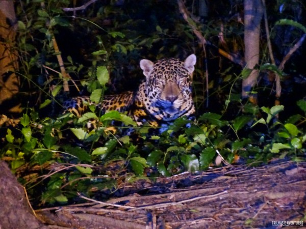 Onça Pintada no Pantanal Jungle Lodge-14