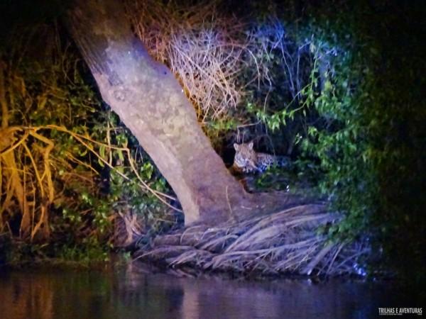 Onça Pintada no Pantanal Jungle Lodge-4