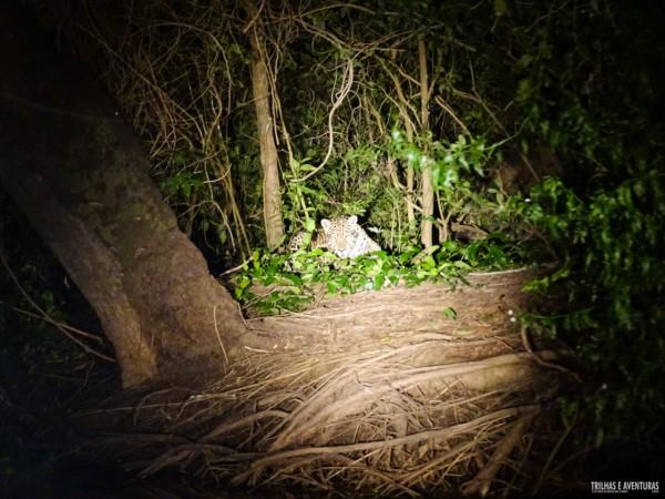 Onça Pintada no Pantanal Jungle Lodge-7