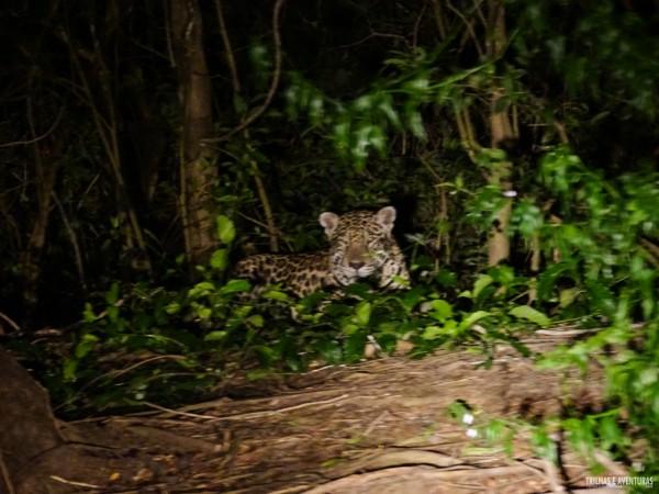 Onça Pintada no Pantanal Jungle Lodge-8