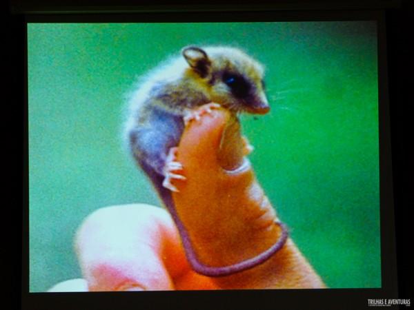 Menor marsupial do mundo vive em Malalcahuello