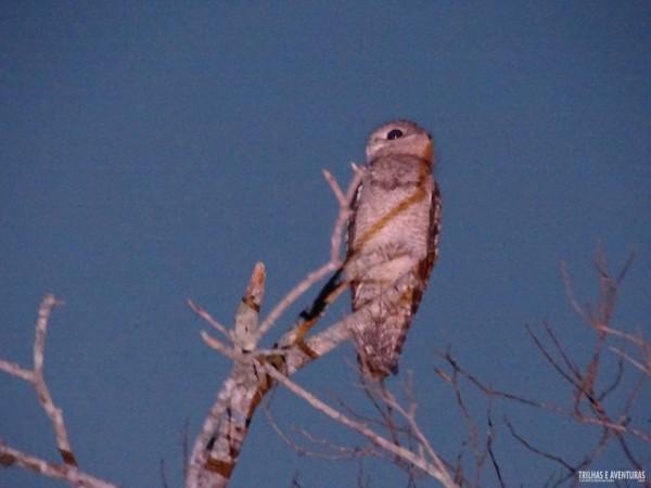 """Urutau Gigante, ou """"mãe da lua"""", ave rara no Pantanal"""