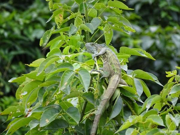 "Iguana ""levemente"" disfarçada na árvore"