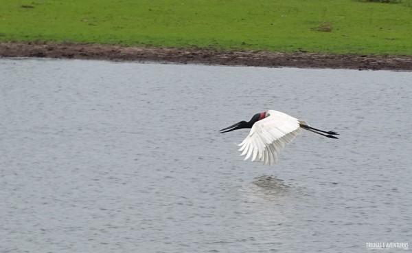 O voo do Tuiuiú do Pantanal