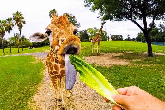 Incrível experiência no safari do Busch Gardens Tampa