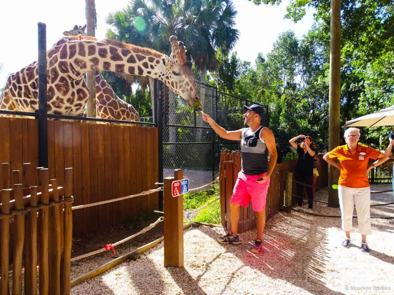 Alimentando girafas no Naples Zoo