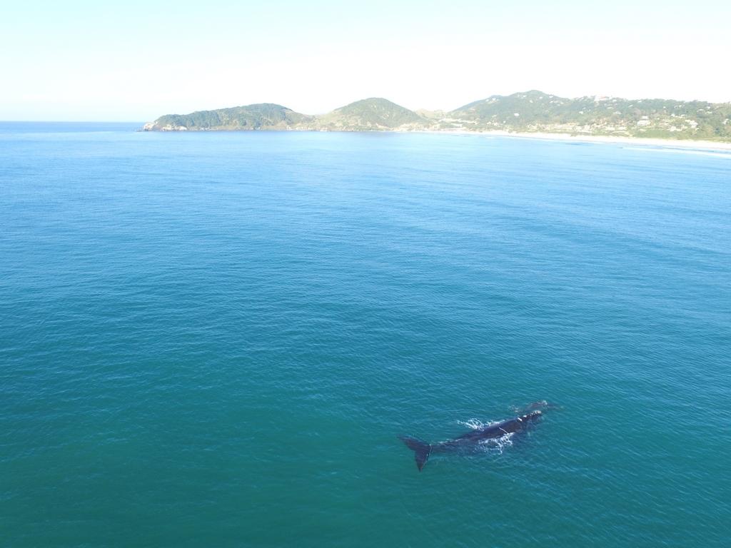 Baleia Franca na Praia do Rosa - SC / Foto: Rodrigo Litman