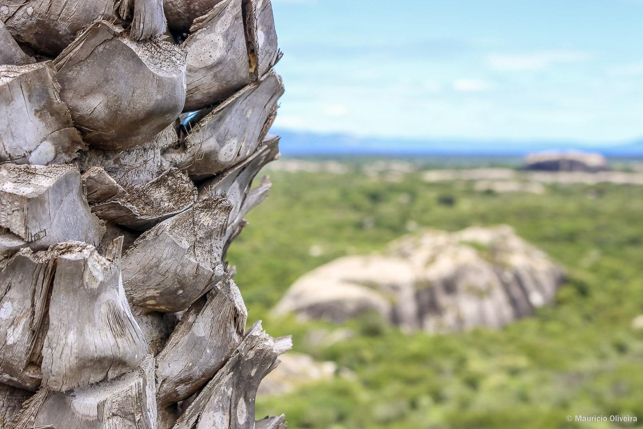Detalhe do tronco da Carnaúba