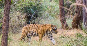 O Safári na Índia e o Tigre-de-Bengala